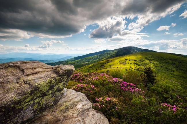 Roan Mountain Rhododendron Bloom - A Glorious Gree
