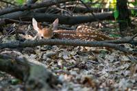 Peeking Fawn by Daniel Teetor