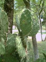 Nopal also called Pricky Pear Cactus - close
