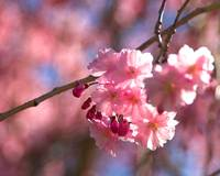 Japanese cherry tree blossoms