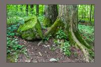Sacred-grove-tree-roots-and-rock