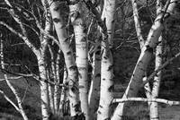 Birch Trees in the Dunes