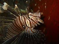 Lion fish on the Wreck Austin Smith in the Bahamas