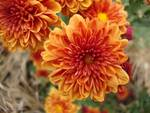 Orange Mums No. 1