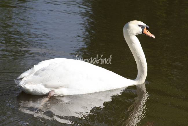 White swan in pond