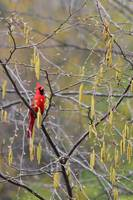 Cardinal on a Black Birch in Spring