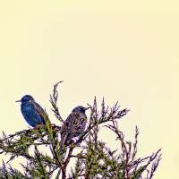 A Starling Couple Art Prints & Posters by Victoria Field
