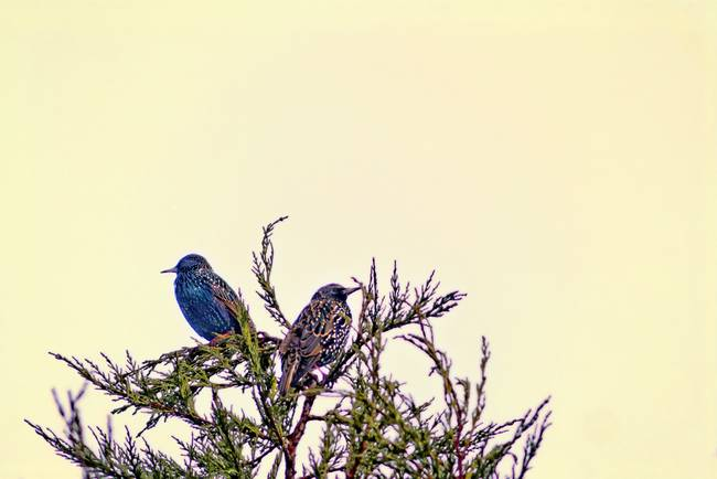 A Starling Couple