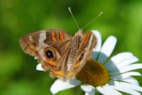 Pretty Butterfly on a Daisy