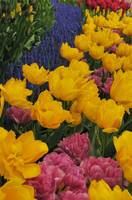Flowerbed of tulips