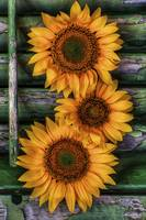 Sunflower as Still Life