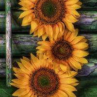 Sunflower as Still Life by Jim Crotty