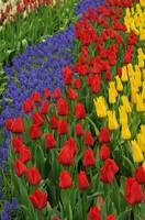 Flowerbed of tulips and muscari