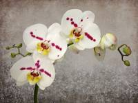 Spotted White Phalaenopsis