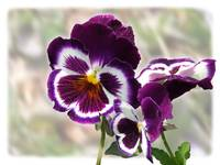 Purple Pansies by Giorgetta Bell McRee