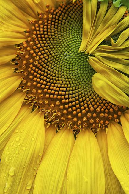 Sunflower Details