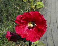 red holly hock bee