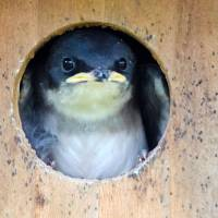"""Baby Tree Swallow"" by WildAboutNaturePhotography"