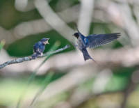 Tree Swallows - Mother & Baby