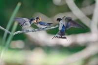 Tree Swallows - Mother & Babies