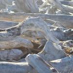 Coastal Driftwood art prints Morning Light