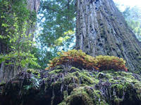 Redwood Tree Forest art prints Redwoods