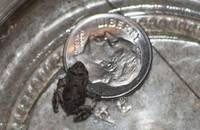 frog with dime-002-1935-1260