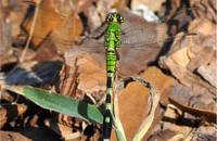 Green-dragonfly-001