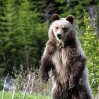 Grizzly Poise by Thirteenth Avenue Photography
