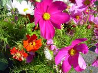 Purple Cosmos Flower 822