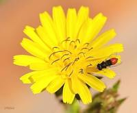 Red Bee Fly on a Dandelion Flower