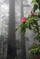 Rhododendrons in mist