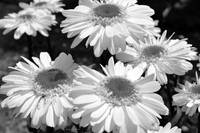 Bunch of Daisies