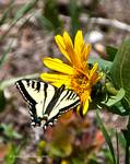 Butterfly on Mulesear flower