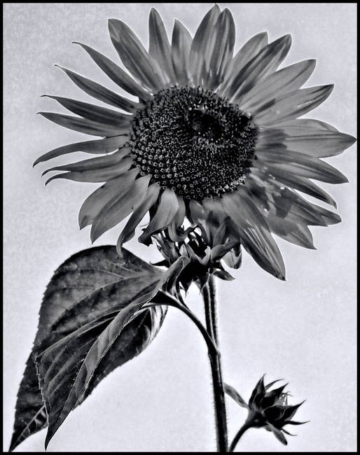 Sunflower in B+W