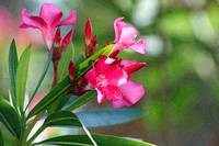 Pink Tropical Flower