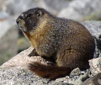 Marmot, on top of the world.