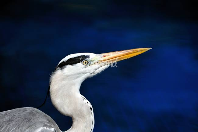 Maldives Grey Heron