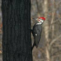 Pileated Woodpecker by Roger Dullinger