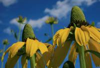 Giant Coneflowers Reaching for the Sky...