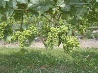 Long Island Grapes