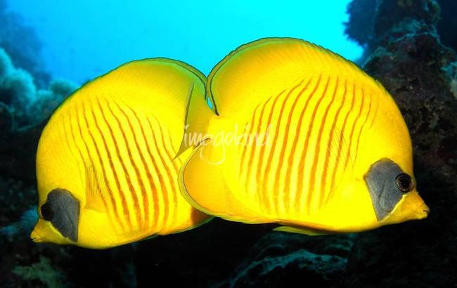 Yellow Diskfish