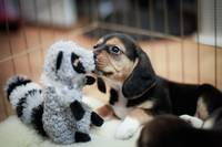 Baby Beagle And Her New Toy