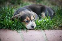 Beagle Baby On Grass