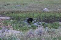 Black Bear, Yellowstone National Park, WY