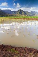 Taro Fields of Hanalei