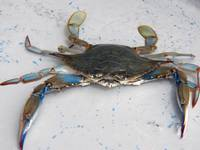 Blue Crab--Part of the