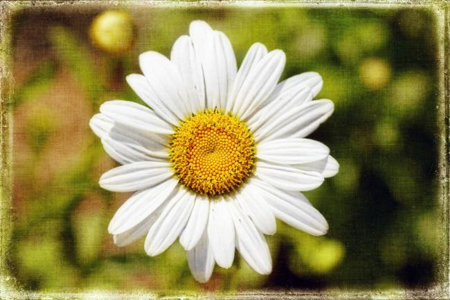 Daisy on Canvas