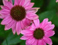 Two Purple Coneflowers  Echinecea