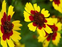 Rise and Shine Plains Coreopsis Wildflower